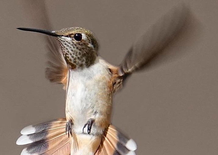 Rufous hummingbirds are a common visitor to hummingbird feeders during the month of August. (Heidi Dahms Foster/Courtesy)