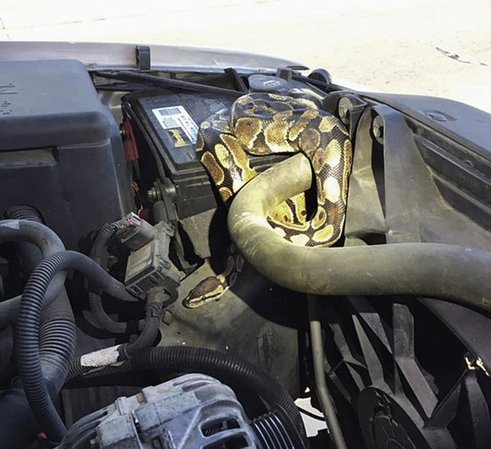 This Wednesday, Aug. 22, 2018, photo provided by the Omro Police Department in Omro, Wis., shows a 4-foot-long Ball python that was discovered wrapped around a car engine. It took hours to unwind and coax the snake from the engine compartment. Police say the snake escaped from its owner more than a month ago. (Omro Police Department via AP)