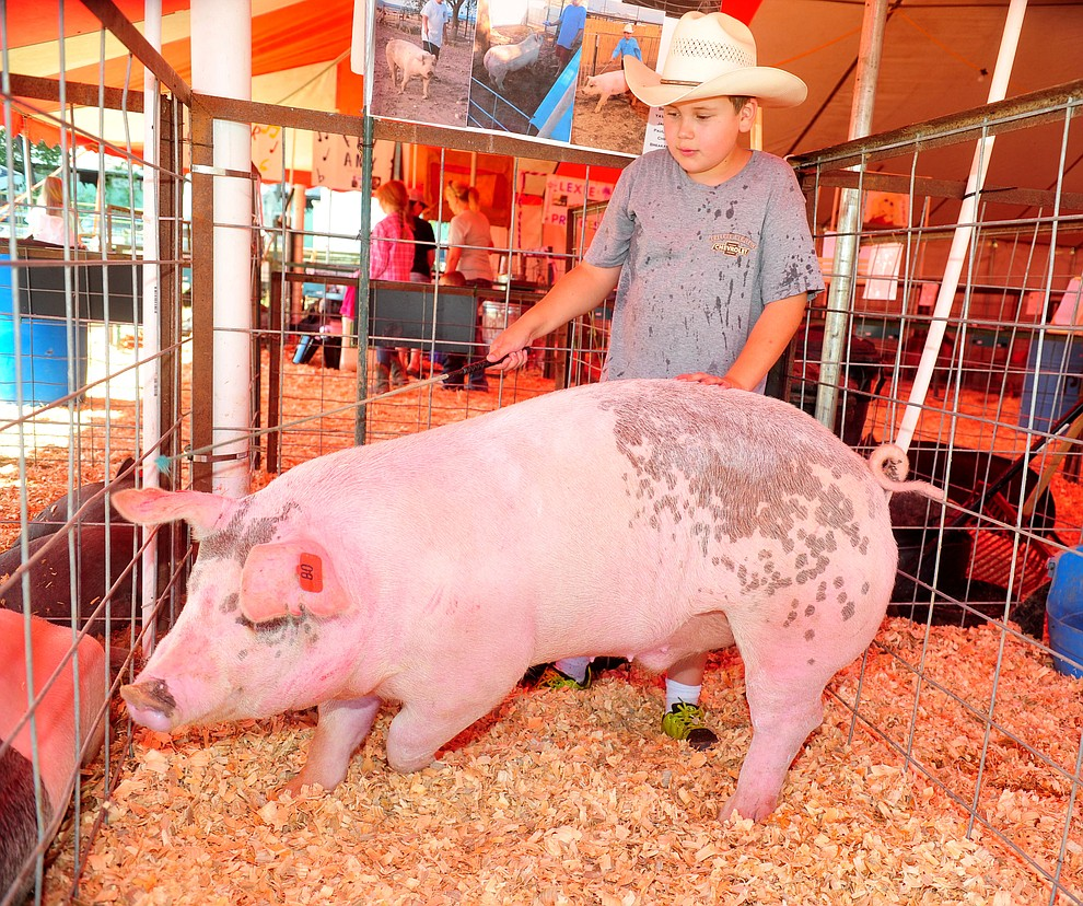 Paulden's Jacob Vigueria of the Chino Valley Breakaway Latigos gets his market pig Bad Hombre out of the food trough at the 69th annual Yavapai County 4-H/FFA Expo Show and Auction Saturday, August 25, 2018 at the Prescott Rodeo Grounds. (Les Stukenberg/Courier)
