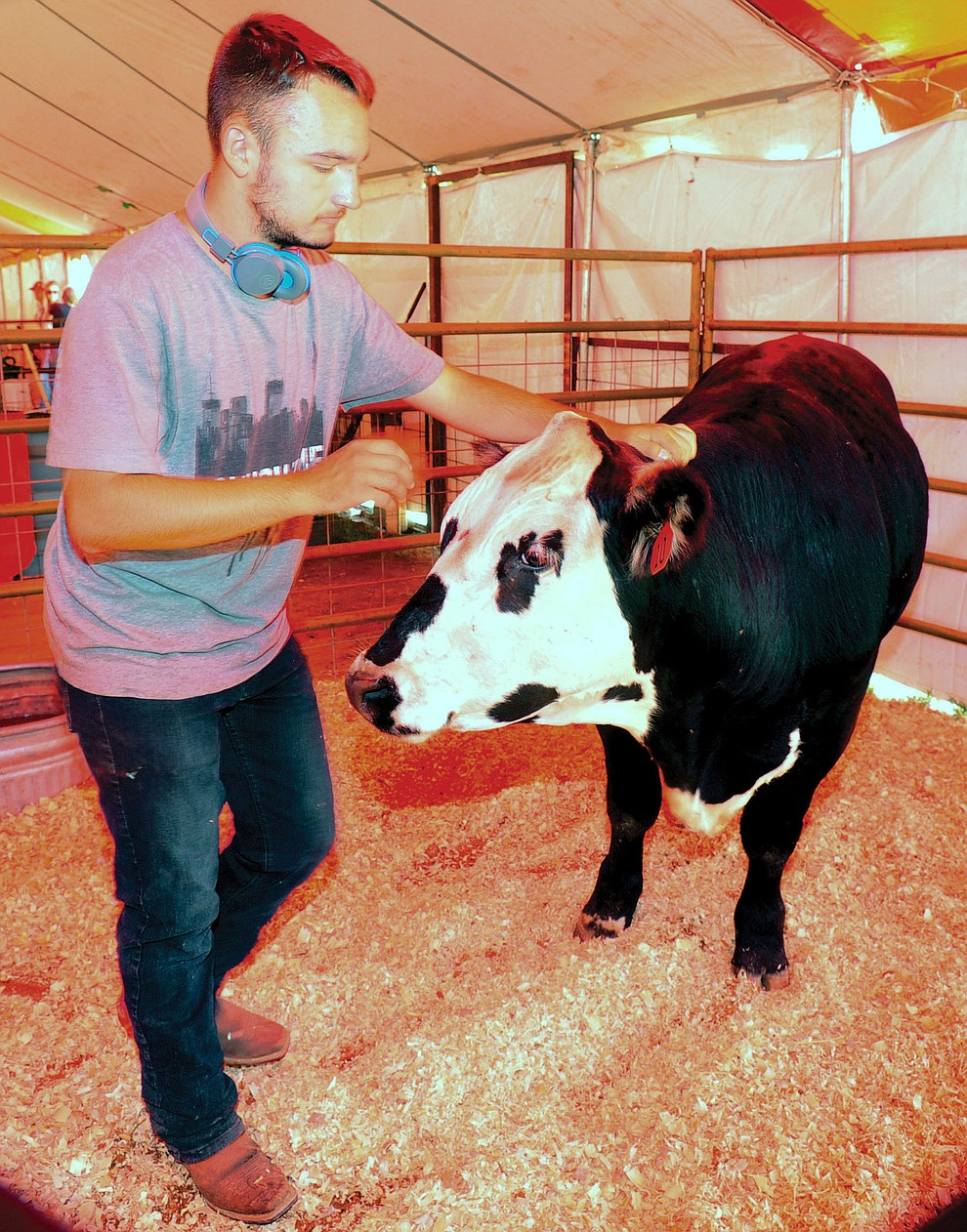 Northern Division Livestock Club's Konnol Montoya gets his market beef ready for auction at the 69th annual Yavapai County 4-H/FFA Expo Show and Auction Saturday, August 25, 2018 at the Prescott Rodeo Grounds. (Les Stukenberg/Courier)