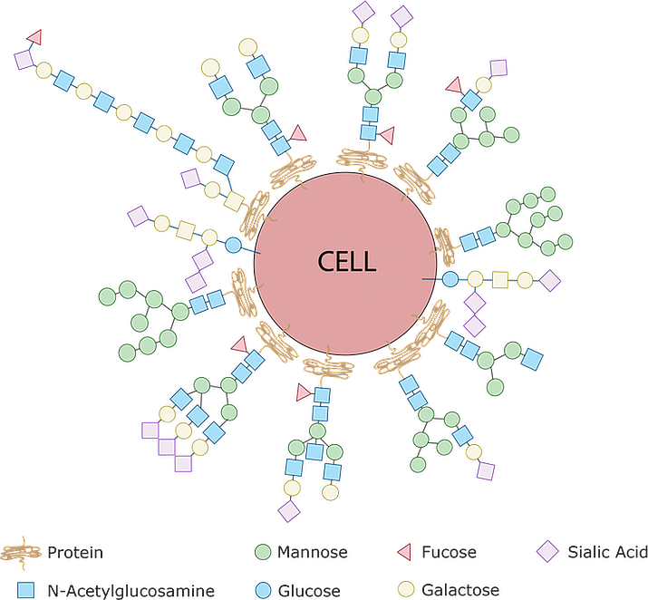 Every single cell in the human body is covered with a collection of glycans which are assembled using various simple sugars like glucose, mannose, galactose, sialic acid, glucosamine and frucose as building blocks. By sensing the type of sugar coat present, our immune cells can identify other cells as friend or foe. This is because bacteria have sugars on their surfaces that are never seen on human cells – the pathogen's sugars are sensed by the immune system and that identifies the bacteria as 'foreign.' (Emanual Maverakis, CC BY-SA)