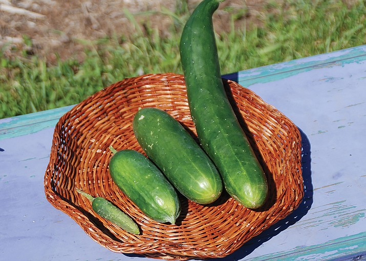 Harvest cucumbers when they're small or large, depending on how you plan to use them. (Melinda Myers/Courtesy)