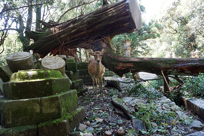 A deer stands near a fallen tree at Kasugataisha shrine in Nara, western Japan Wednesday, Sept. 5, 2018. One of Japan's busiest airports remained closed indefinitely after the strongest typhoon to hit Japan in at least 25 years flooded a runway and other facilities while damaging other infrastructure as it swept across part of Japan's main island. (Naranofuku via AP)