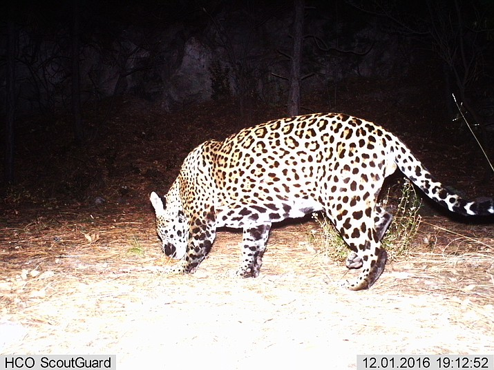 Male jaguar photographed by motion-detection cameras in the Huachuca Mountains on December 1, 2016. This is a different individual than was photographed in the Santa Rita Mountains from 2012-2015, and represents the 6th known jaguar documented in the U.S. since 1996. (U.S. Fish & Wildlife Service)