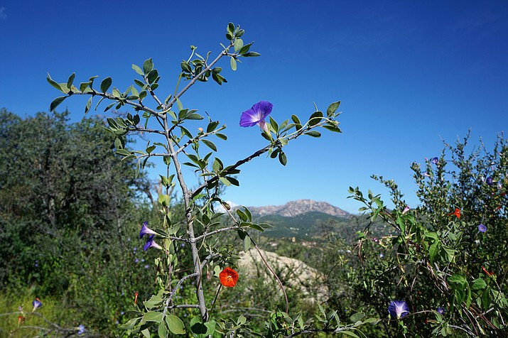 Purple and orange morning glories are among the varieties of wildflowers that are currently in bloom at the City of Prescott's Community Nature Center. The flowers will be on display during a series of free nature walks at the Wildflower Festival at the park located off Williamson Valley Road. (Cindy Barks/Courier)