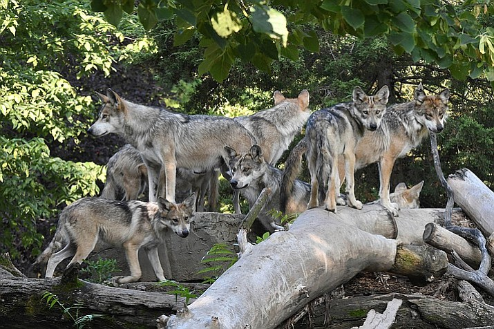 Arizona Game and Fish and the U.S. Fish and Wildlife Service have determined Mexican wolf conservation efforts will be focused south of the I-40 corridor. (Photo by Jim Schulz/Grand Canyon News)