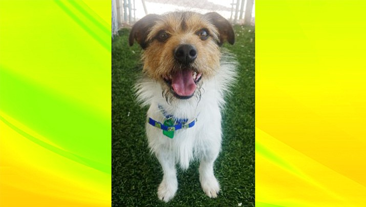 Sebastian is a Jack Russell Terrier mix at the Chino Valley Animal Shelter, 1950 Voss Drive. (Courtesy)