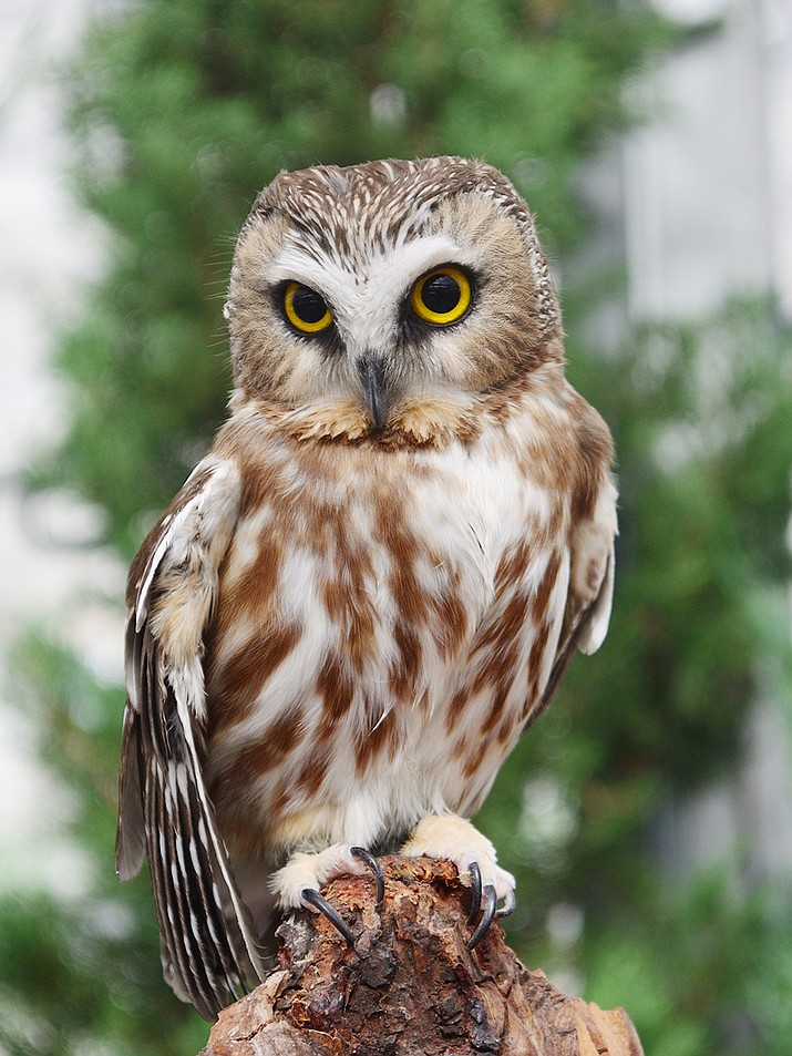 Owls are one of the birds you want in your yard, though attracting them can be a challenge. (Ken Davis/Courtesy)