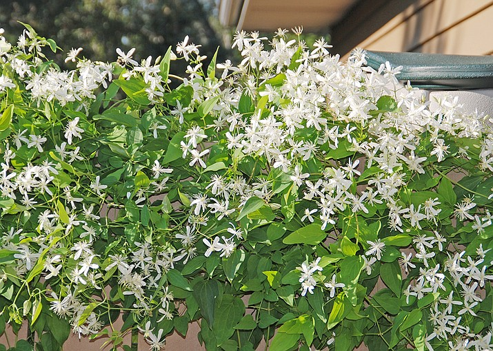 Sweet autumn clematis with white flowers and fragrant beauty quickly climbs up trellises and arbors. (Melinda Myers/Courtesy)