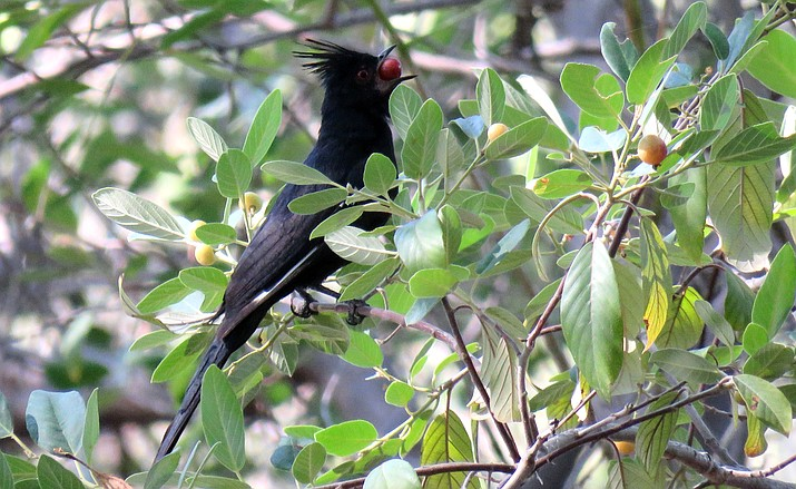 A male Phainopepla pigs out on berries near Clear Creek.