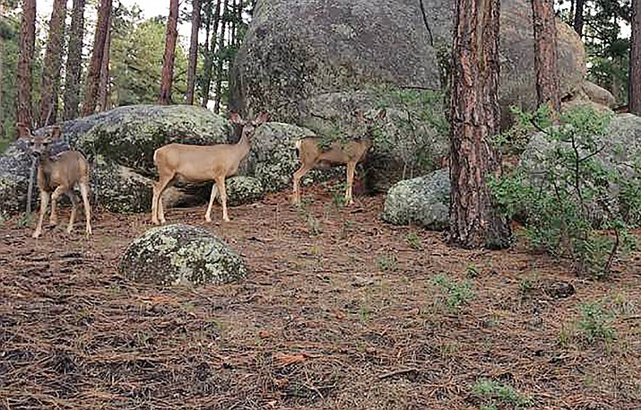 Some deer in the Prescott area are suffering from epizootic hemorrhagic disease (EHD), according to the Arizona Game and Fish Department. While it does not affect humans, deer can appear to be lethargic, blind, walking in circles and unaware of their surroundings. (Tim Wiederaenders/Courier)