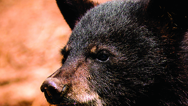 Camp Verde man wrestles with black bear near Patagonia