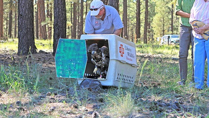 Injured bald eagle released at Dogtown Lake