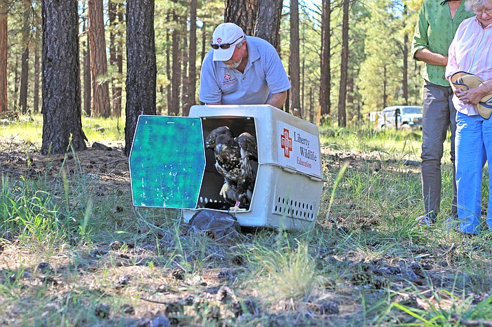 Joe Miller of Liberty Wildlife releases an immature bald eagle at Dogtown Lake Sept. 10. The eagle had been found injured in January in Pitman Valley, and was rehabilitated at their facility in Phoenix.