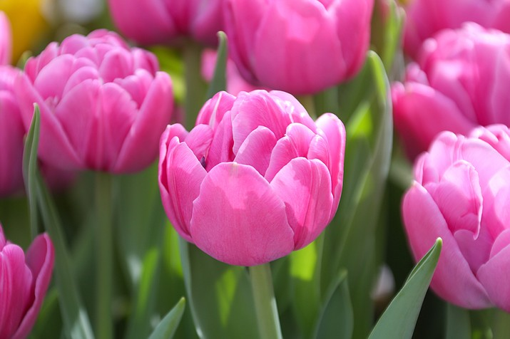 Margarita is an early-blooming tulip variety that produces stunning double blossoms. (Longfield-Gardens.com/Courtesy)