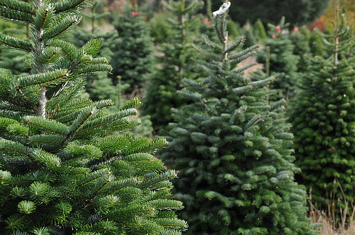 The U.S. Forest Service says 600 over-the-counter permits for getting Christmas trees in the Prescott National Forest will go on sale beginning Saturday, Nov. 17. (Courier stock photo)