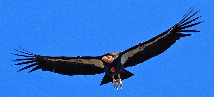 The largest flying land bird in the world, the California condor can weigh up to 26 pounds and have a wingspan of nearly 10 feet. (Photo/NPS)