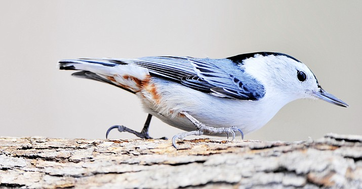 A white breasted nuthatch is one of the many birds you can see in the Southwest. (Courier, stock file)