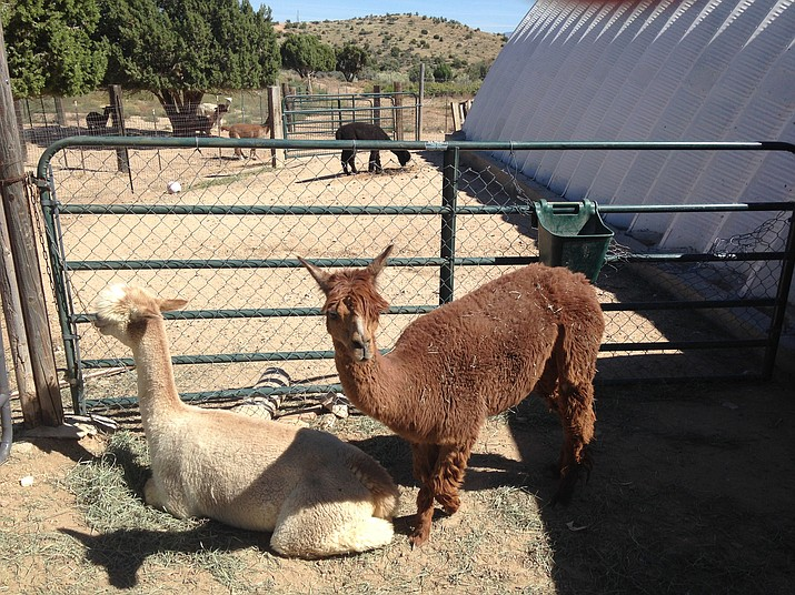 Alpacas of the Southwest is holding its 13th annual Alpaca Farm Days at 10 a.m. – 3:30 p.m. Friday through Sunday, 1108 McCarrel Road. (Photo by Shawn Byrne/Daily Miner)