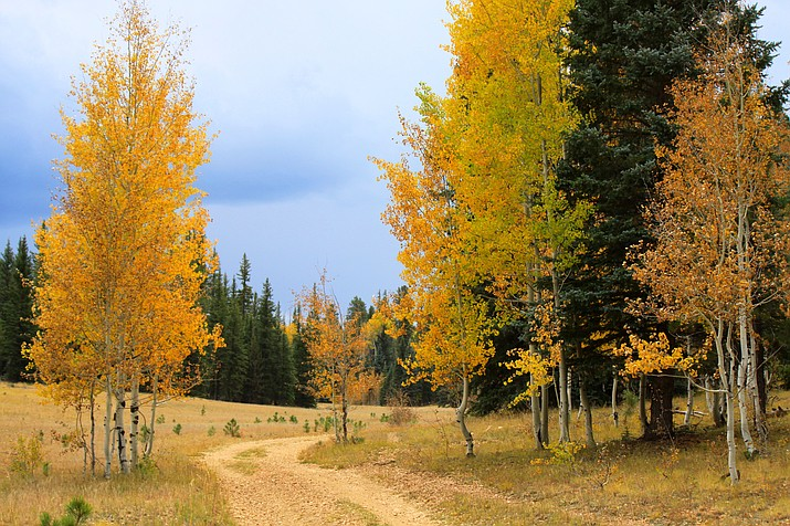 Fall colors changing on the North Kaibab Ranger District in 2017. Visitors can expect prime viewing to last until around the second week of October. (Kaibab National Forest)