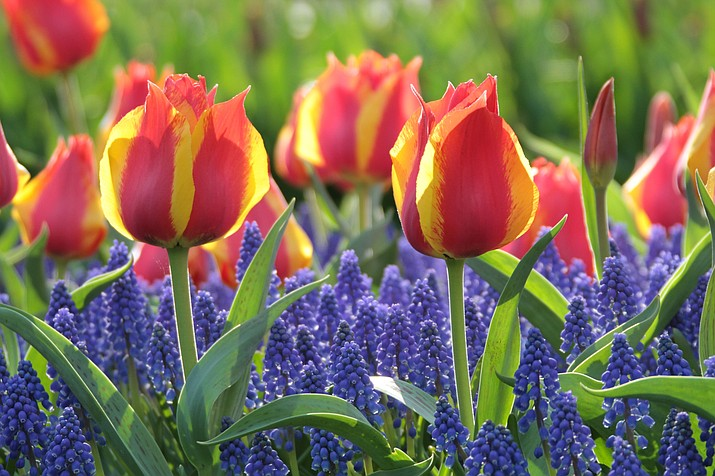 Combine Flair tulips with grape hyacinths (Muscari armeniacum) this fall for a dramatic display of color next spring. (Longfield-Gardens.com/Courtesy)