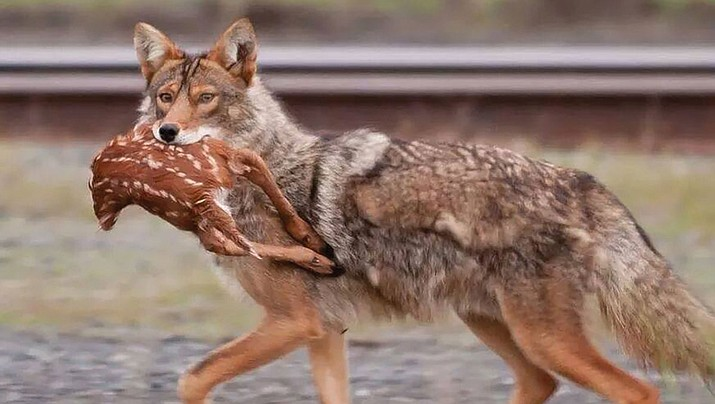Coyotes, like this one with a deer fawn in its mouth, are the No. 1 predator of antelope fawns in Arizona. (Photo special to the Miner)