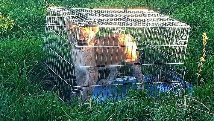 Police in Tienhoven, Netherlands say this young cub was found Sunday in a cage dumped in a field. Officers have taken to Twitter to appeal for help in tracing the animal's owner, while the young cub, a male believed to be about five months old, is being cared for by a foundation that looks after big cats. (Dutch Police via AP)