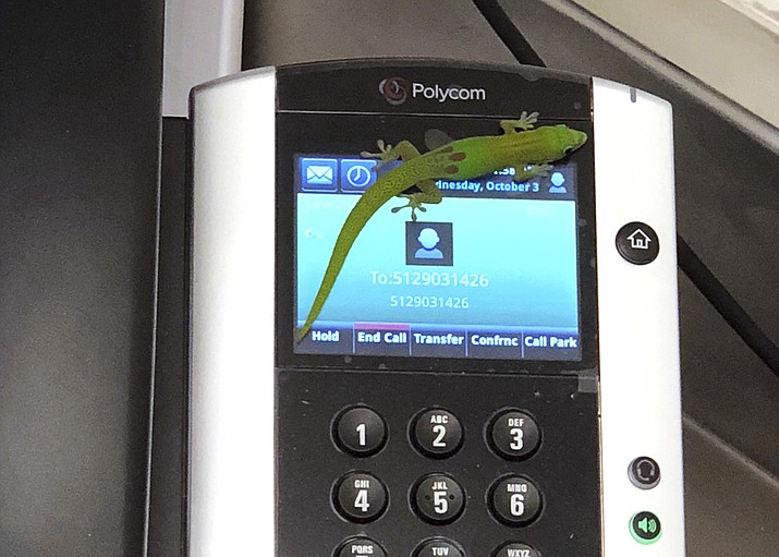 This photo provided by The Marine Mammal Center hospital director Claire Simeone shows a gecko on a phone Oct. 3, 2018, at the center in Kailua Kona, Hawaii. The gecko is the culprit in making numerous calls in the phones' recent call history with his tiny feet. (Clair Simeone/The Marine Mammal Center via AP)