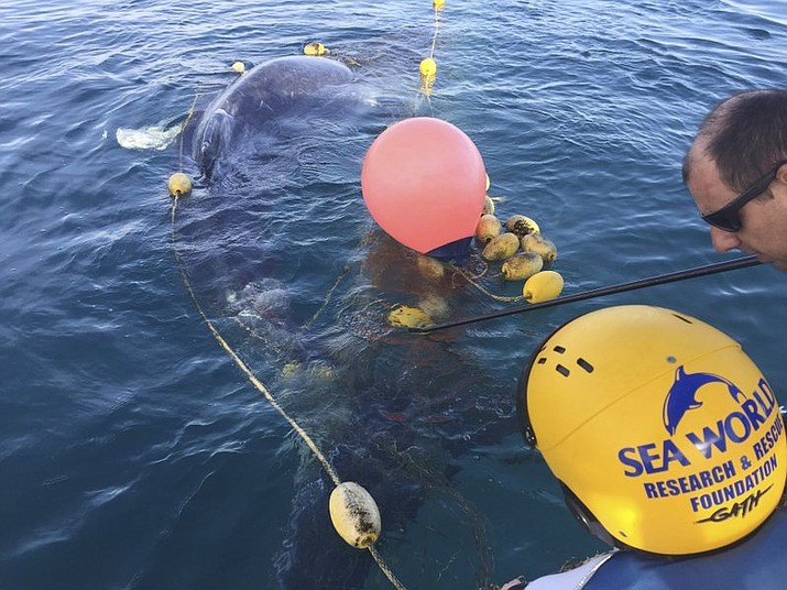 In this photo provided by Sea World Australia, rescuers try to free a whale calf tangled in a shark net off Greenmount Beach Tuesday, Oct. 9, 2018. Experts spent almost two hours on Tuesday morning untangling the humpback calf from a net about 500 meters (yards) off the beach at Gold Coast city. (Sea World Australia via AP)