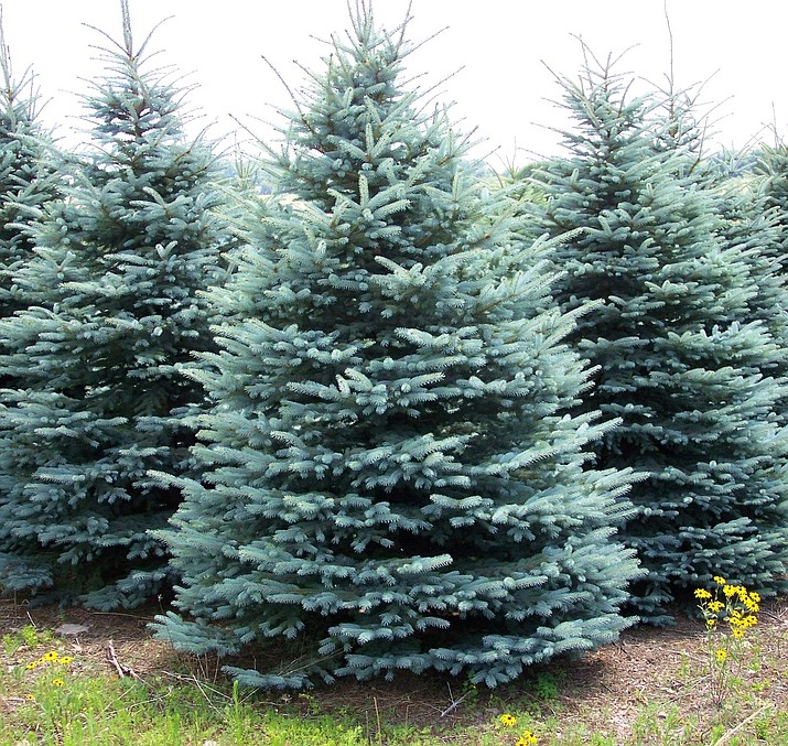 The Colorado Spruce is is the perfectly symmetrical Christmas-tree-shape and very cold-hardy. (Courtesy)