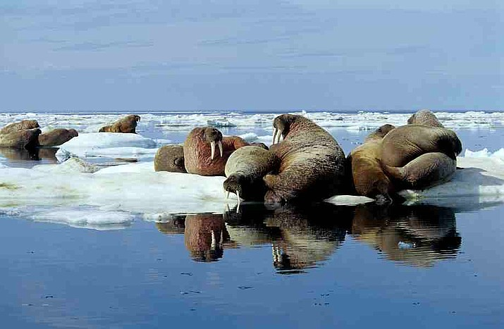 "U.S. Fish and Wildlife Service concluded in October 2017 that walruses are adapting and no one has proven that they ""need"" sea ice. (Photo by Ansgar Walk [CC BY-SA 3.0  (https://creativecommons.org/licenses/by-sa/3.0)], from Wikimedia Commons)"