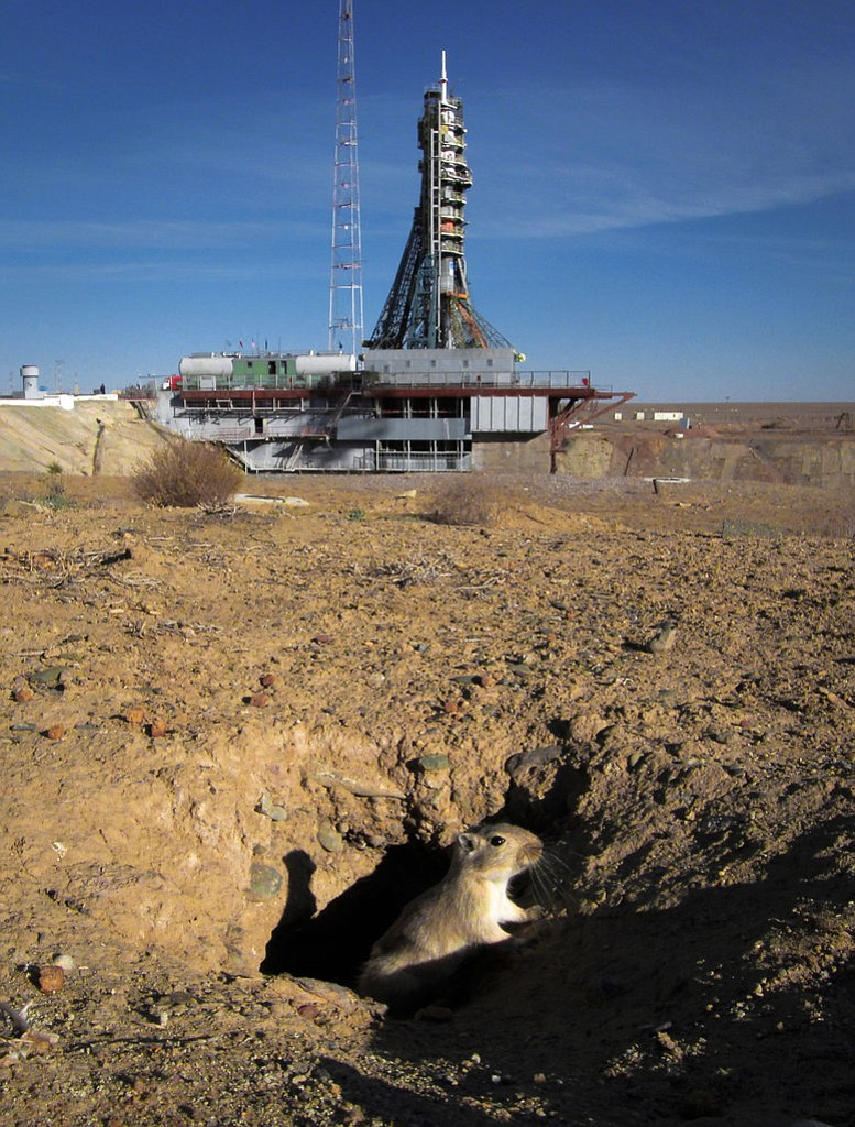 A gerbil comes out of a hole a few hours prior to the launch of the Soyuz MS-10 space ship carrying a new crew to the International Space Station, ISS, at the Russian leased Baikonur cosmodrome, Kazakhstan, Thursday, Oct. 11, 2018.  Two astronauts from the U.S. and Russia were safe Thursday after an emergency landing in the steppes of Kazakhstan following the failure of a Russian booster rocket carrying them to the International Space Station.  (AP Photo/Dmitri Lovetsky)