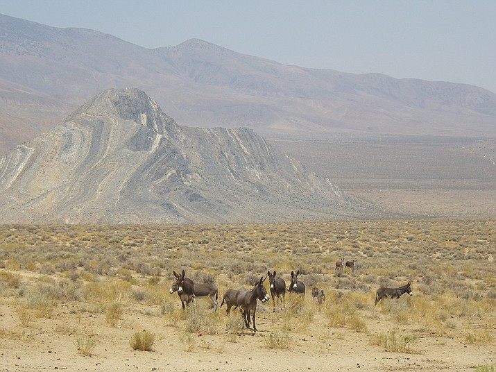 Wild burros will be relocated from Death Valley National Park to homes and sanctuaries. (Photo/NPS)