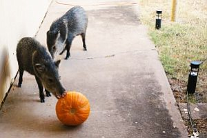 Javelina and other wildlife are attracted to some Halloween decoration. Arizona Game and Fish are warning people to be aware of what they leave outside. (AZGFD)