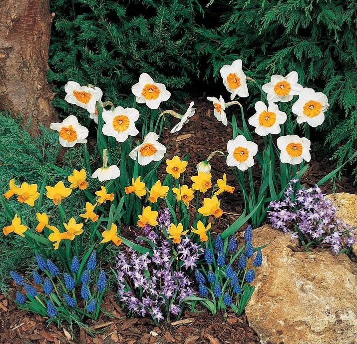 Blooms from bulbs can brighten a garden from early March until late June. (Courtesy)