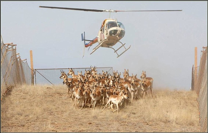 Arizona Game and Fish Department use a helicopter to gather pronghorn and direct them into a corral trap. MAP BELOW: Key: Green dot, corral trap; Blue, proposed wing fences; Black dots, existing fenceline. (AZGFD/Courtesy)