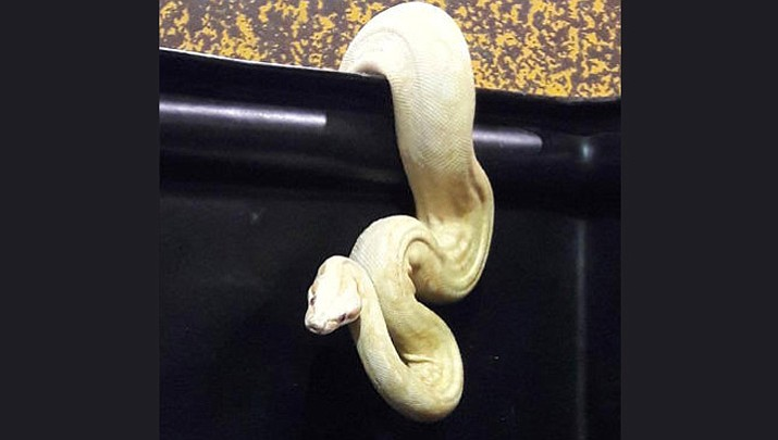 This python was huddled in a pile of donated clothes when a Goodwill worker discovered it Nov. 1, 2018, in a sorting center bin in Fort Worth, Texas. (Goodwill)