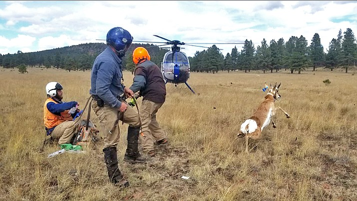 Biologists from Arizona Game and Fish Department and the U.S. Forest Service work with Quicksilver Air to capture and collar pronghorn in the Garland Prairie area near Williams. The purpose of the project is to track pronghorn and determine the impacts of fences and roads on their migration. (Photos/AZGFD)