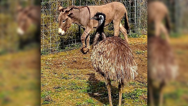 A male donkey (Jack) and a female emu (Diane) were rescued together from Kershaw, South Carolina when their owner suddenly vanished last week. The Carolina Waterfowl Rescue shelter staff tried separating them, but Jack cried and Diane became frantic. (Carolina Waterfowl Rescue)