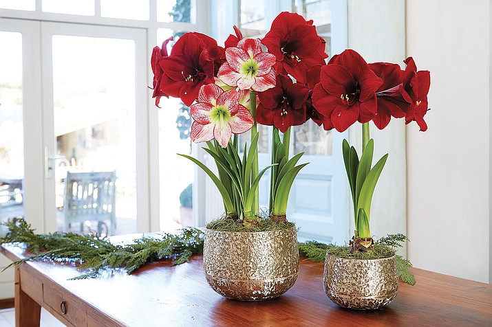 Amaryllis bulbs, like this Grand Amaryllis Trio, produce showy blooms that can last up to a month or more. (Gardener's Supply Co./Courtesy)
