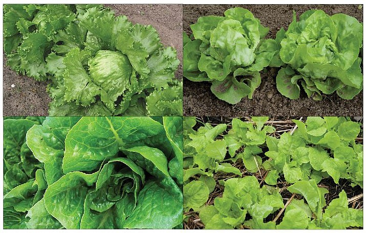 The main categories of lettuce types are, clockwise from top left, Crisphead, Butterhead, loose leaf and Romaine. (Courtesy)