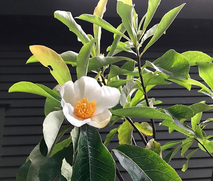 Enjoy fall blossoms from the franklinia tree, a tree that, although native, has not been seen anywhere in the wild for 200 years. (Lee Reich via AP)