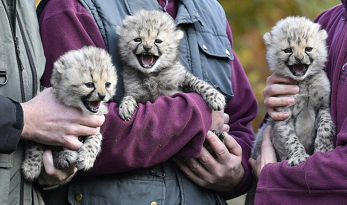 Keepers present three little baby cheetahs at the zoo in Muenster, Germany, Friday, Nov. 9, 2018. The triplets were born on Oct.4 2018 and start to explore their enclosure today. The zoo in Muenster is well known for the successful cheetah breed, about 50 of the endangered animals were born in the zoo since the seventies. (AP Photo/Martin Meissner)