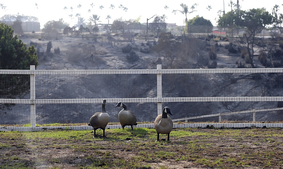 These lawn figures of geese stand in the backyard of one of at least 20 homes destroyed just on Windermere Drive, with a burned-over slope behind them, in the Point Dume area of Malibu, Calif., aturday, Nov. 10, 2018. Known as the Woolsey Fire, it has consumed tens of thousands of acres and destroyed dozens of homes. (AP Photo/Reed Saxon)