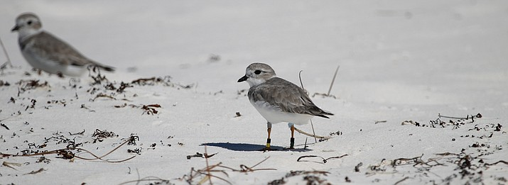 Banded Piping plovers are regarding spotted wintering at Gulf Islands National Seashore. (Photo/NPS)