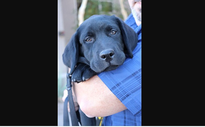 The department announced Friday that a 3-month-old black Labrador puppy will grow up to work as part of the department's special victims unit by offering support to victims of traumatic crimes. (Photo courtesy of ASU Police Department)