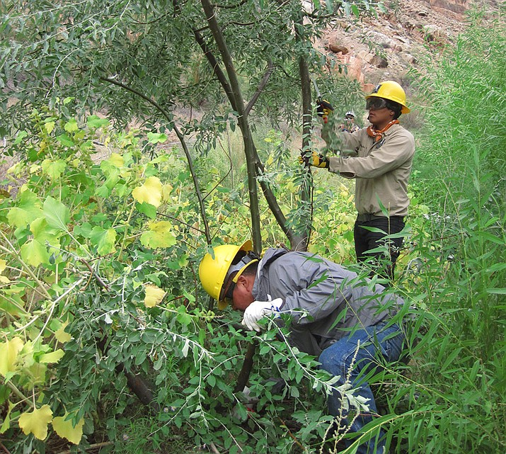 Southwest Conservation Corps Ancestral Lands crew members controlling invasive non-native Russian olive (Elaeagnus angustifolia) in Cataract Canyon. (Photo/NPS)