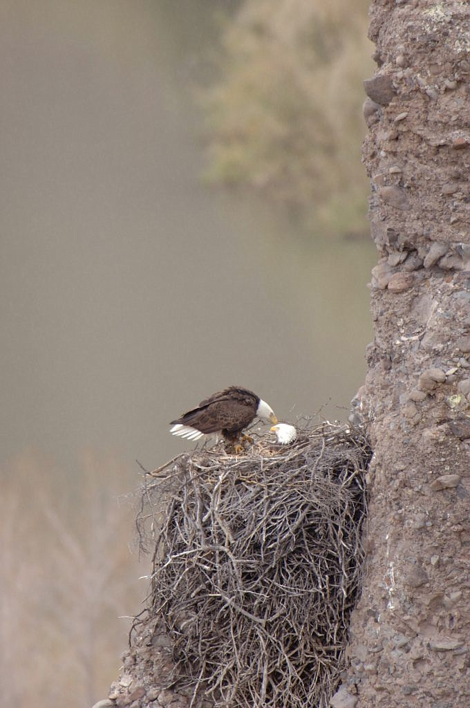 """Wildlife watchers will be in for a treat when the bald eagle nesting season begins.  The Arizona Game and Fish Department and its conservation partners will launch a new """"eagle cam"""" around mid-December. (Daily Miner file photo)"""