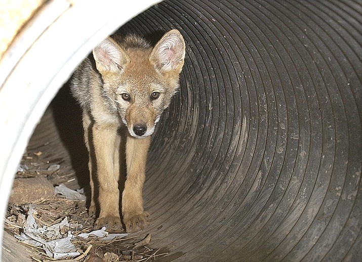 Coyote killing contest has strong statements opposing it. (Tribune file photo)