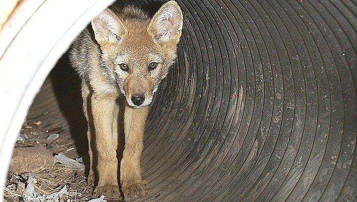Coyote killing contest has strong statements opposing it. (Prescott Valley Tribune file photo)